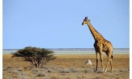 Etosha en Namibie