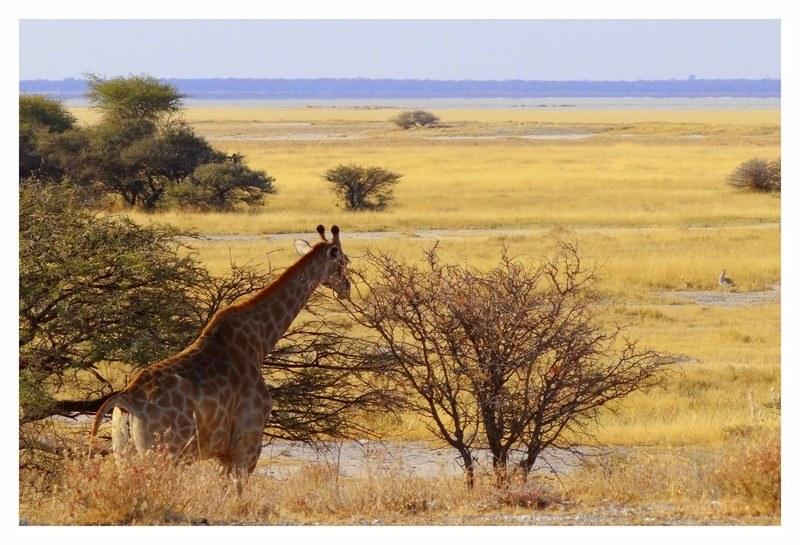 Girafe Etosha